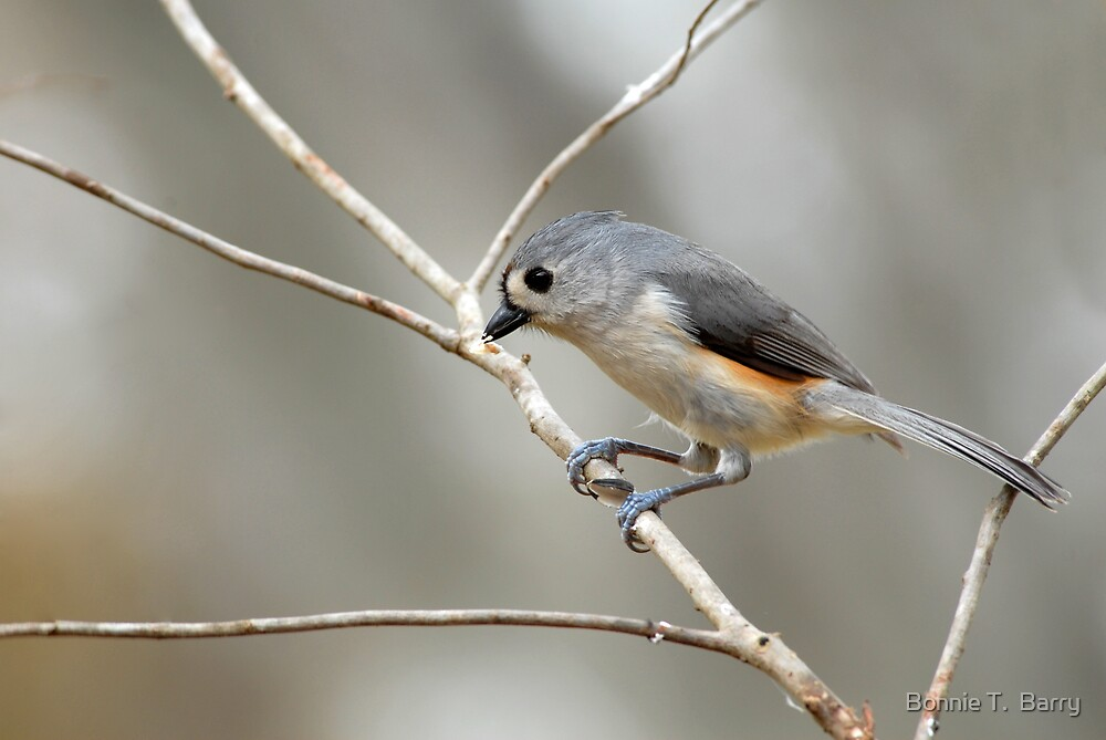 Tufted Titmouse on Winter Day by Bonnie T.  Barry