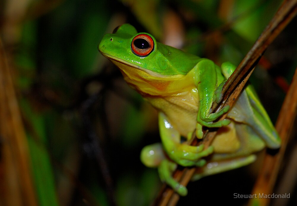 Red-eyed tree frog by Stewart Macdonald