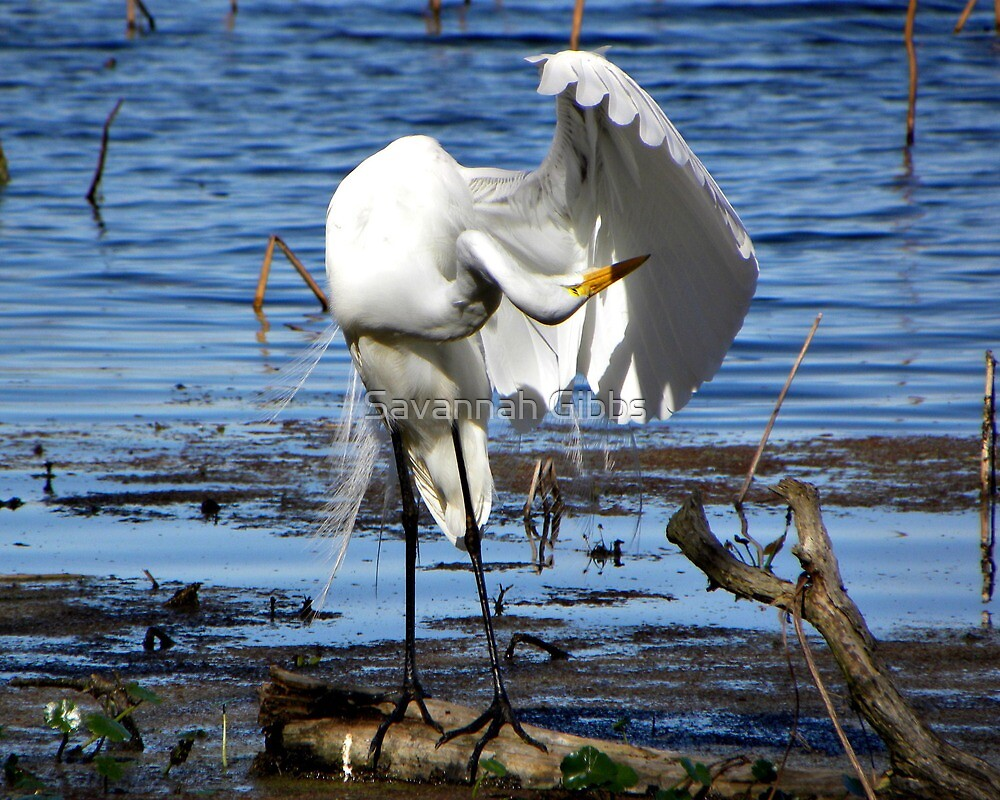 Great Egret by Savannah Gibbs