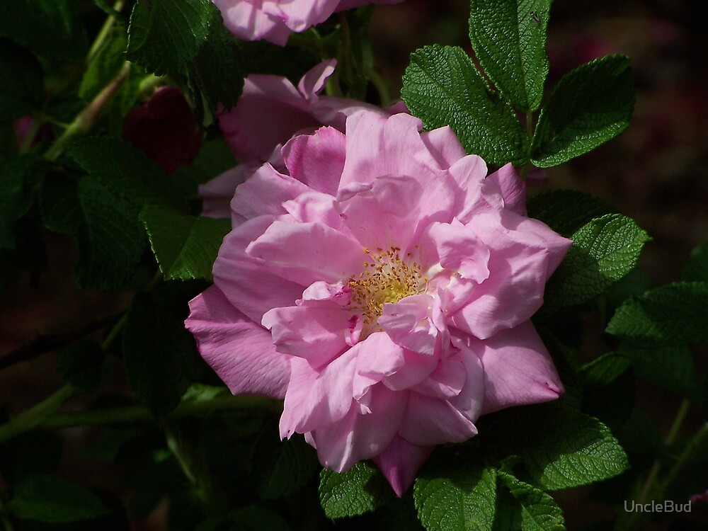 Wild Rose, Three by UncleBud
