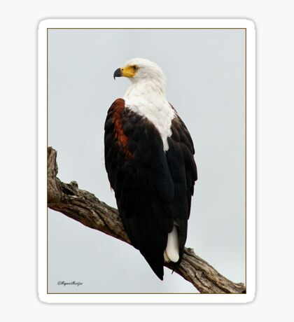 AFRICAN FISH EAGLE - Haliaeetus vocifer -Visarend Sticker