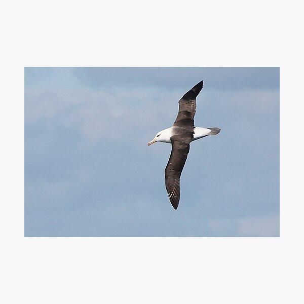 Black-browed Albatross ~ Majestic  Photographic Print