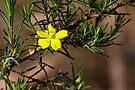 Rare and Endangered ~ Hibbertia menai by Robert Elliott