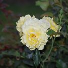 Yellow Rose by Beetlebug