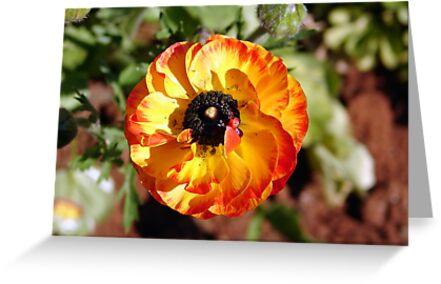 Orange Ranunculus by ~ Fir Mamat ~