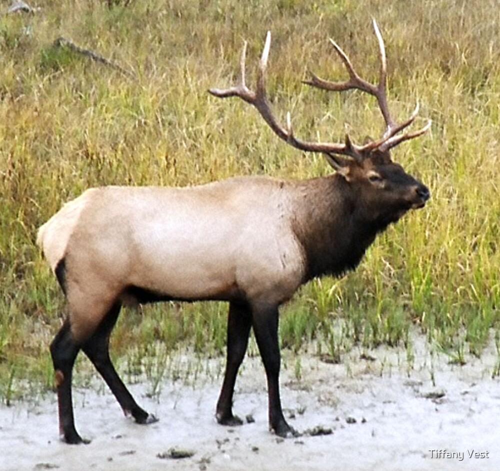 Elk in Rutting Season by Tiffany Vest