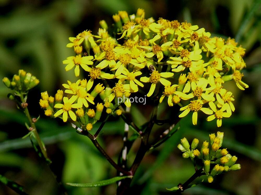 photoj floral, 'Tas Wild Flower' by photoj