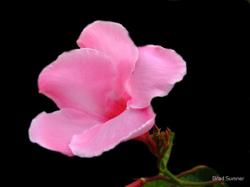 Pink Crepe Myrtle by Brad Sumner