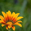 Orange Flower by Danielle Espin