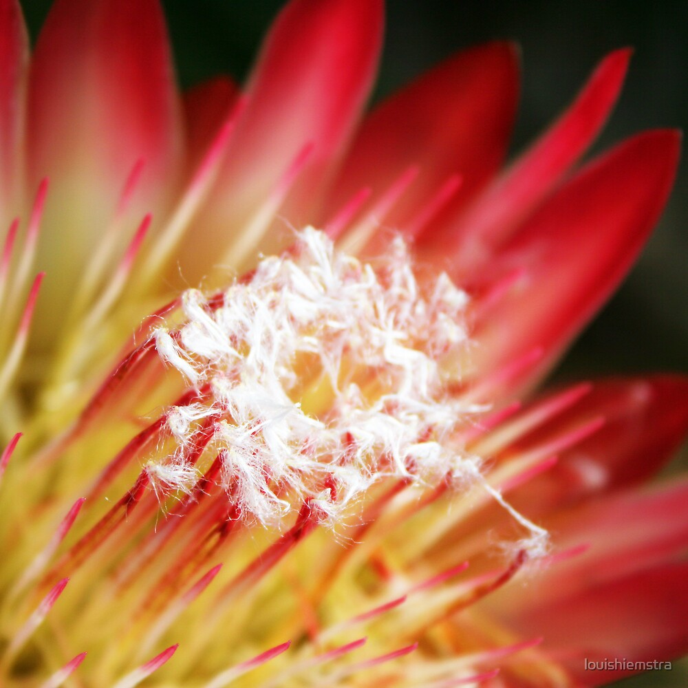 Floral Squares Protea by louishiemstra