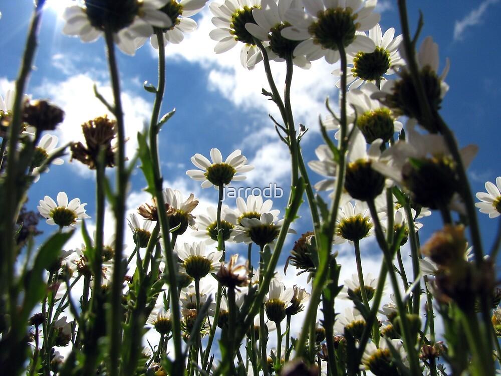framed daisy by jarrodb