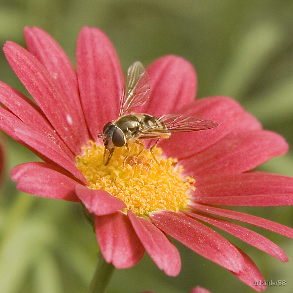 Fly on red daisy by wildrider58