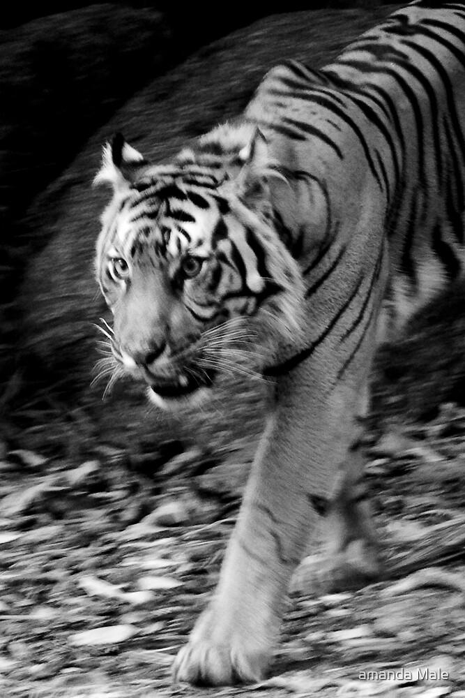 prowling by amanda Male