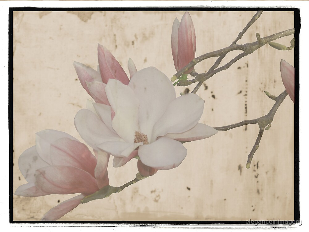 Magnolia by eleganceinimagery