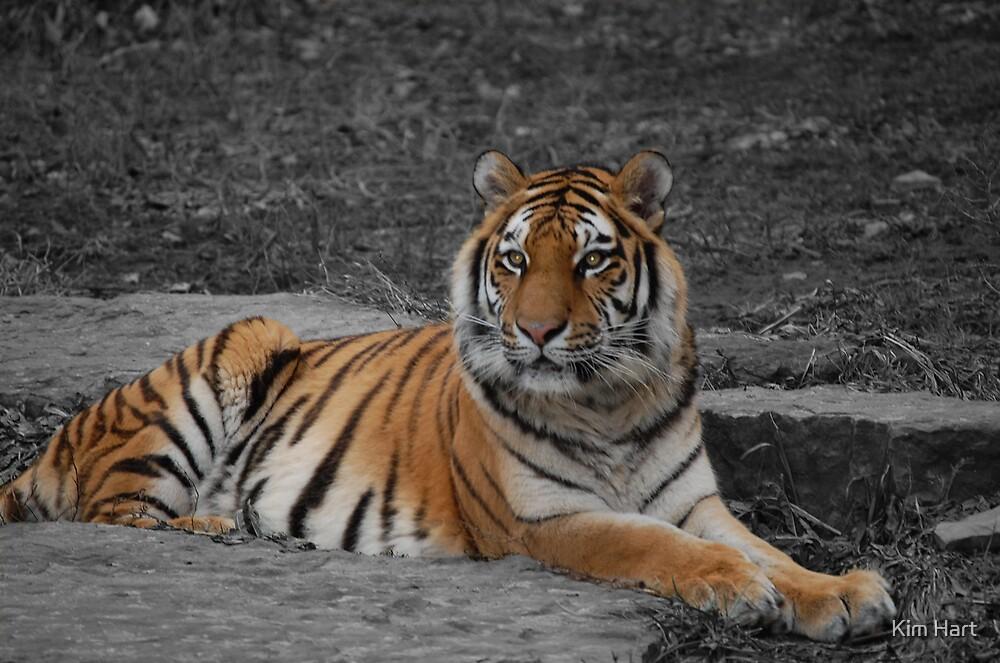 Tiger Stripes by Kim Hart