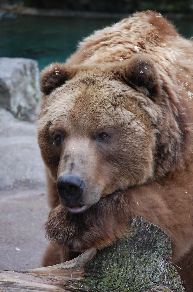 Grizzly Bear by Kim Hart