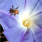 Morning Glory and Bee by Patricia Lupien
