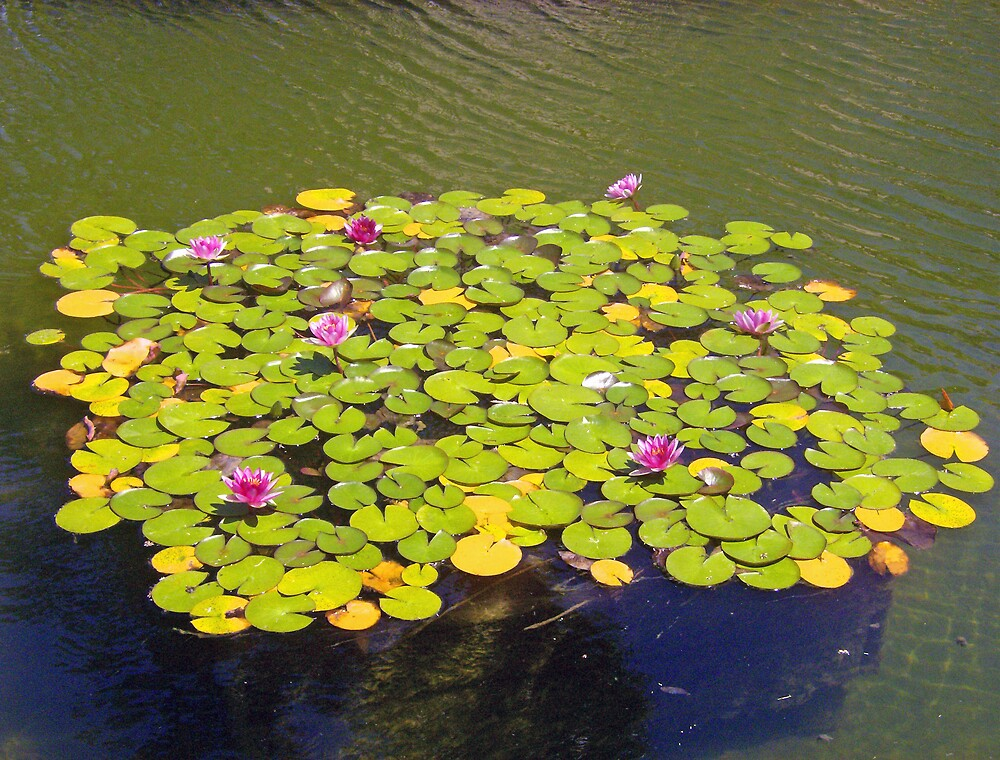 Lillies in Water by shawnathomas