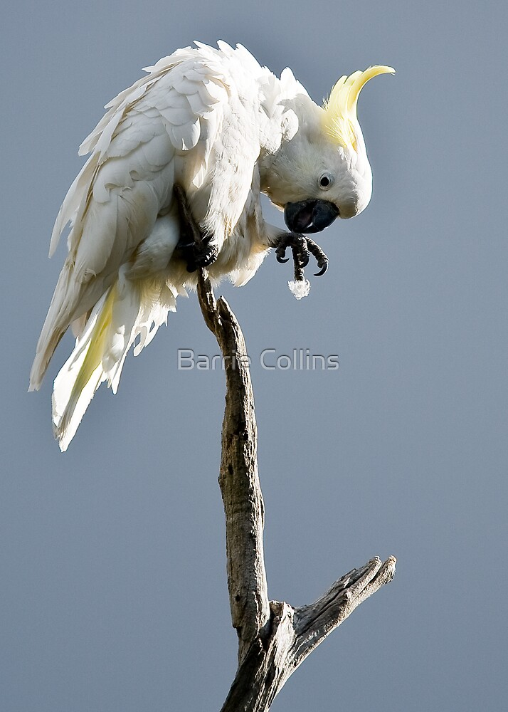 If I drop that feather....................! by Barrie Collins