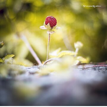 The lonely strawberry II by Stwayne