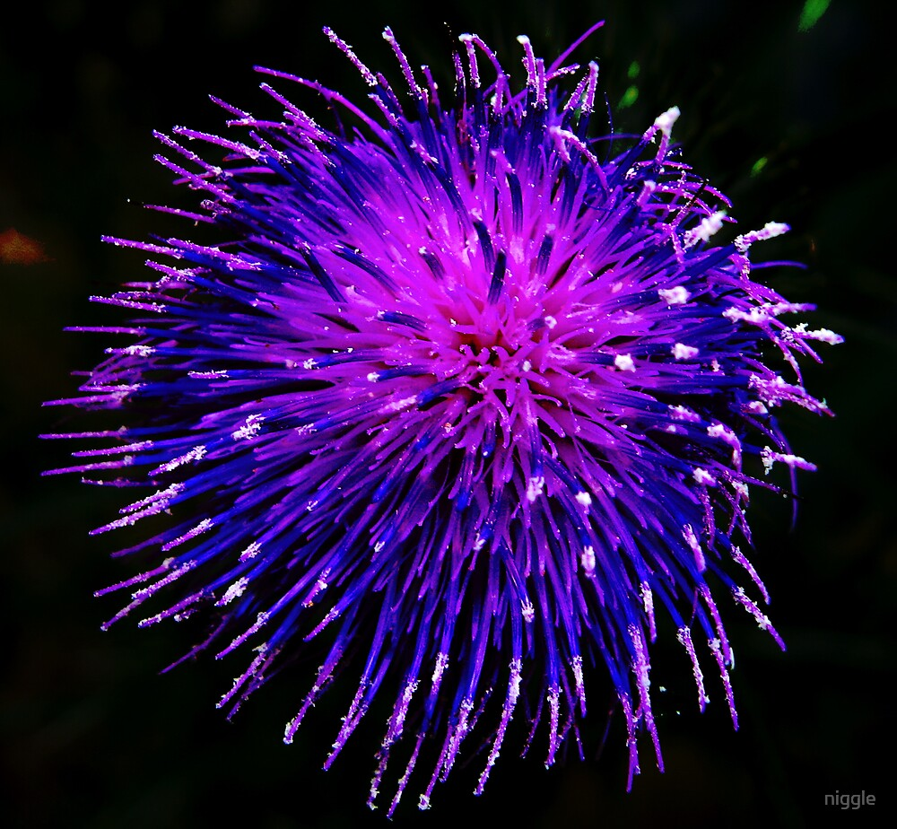Scotch Thistle by niggle