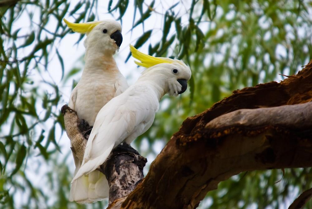 Sulphur-crested Cockatoos, Knuckey Lagoon, NT by Keith McGuinness