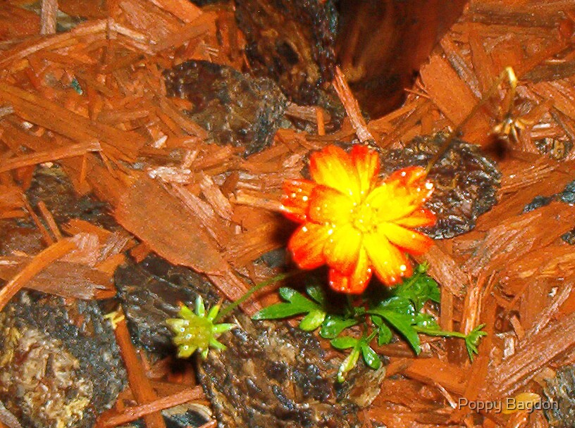Little Orange Flowers by Poppy Bagdon