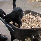 Kitty in Wheelbarrow by amiss