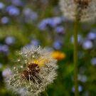 Dandelion in seed by Kyoko Beaumont
