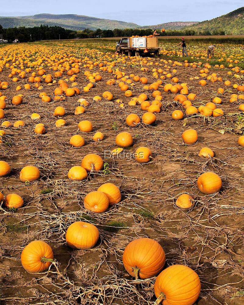 Endless Pumpkin Field by Bridges