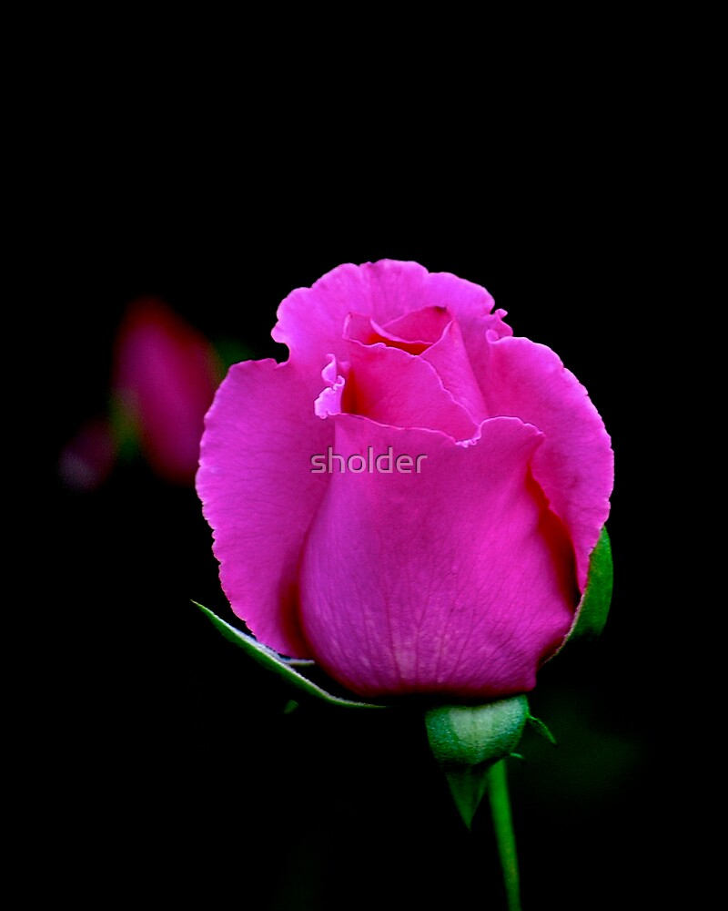 Just Another Rose 2 by sholder