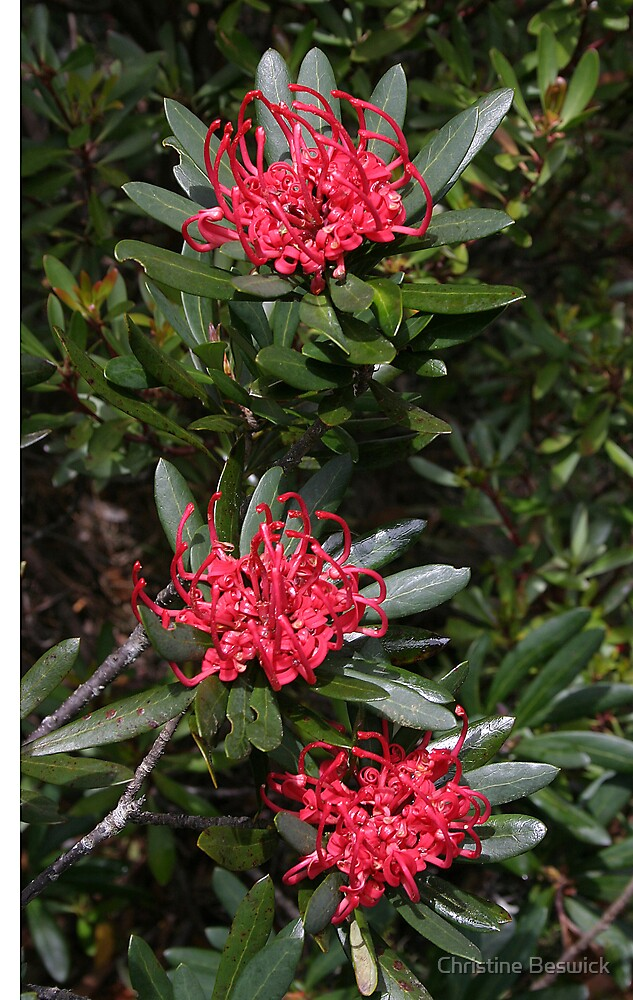 Tasmanian waratah (Telopea truncata) by Christine Beswick
