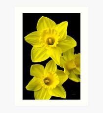 Daffodil Flowers Art Print