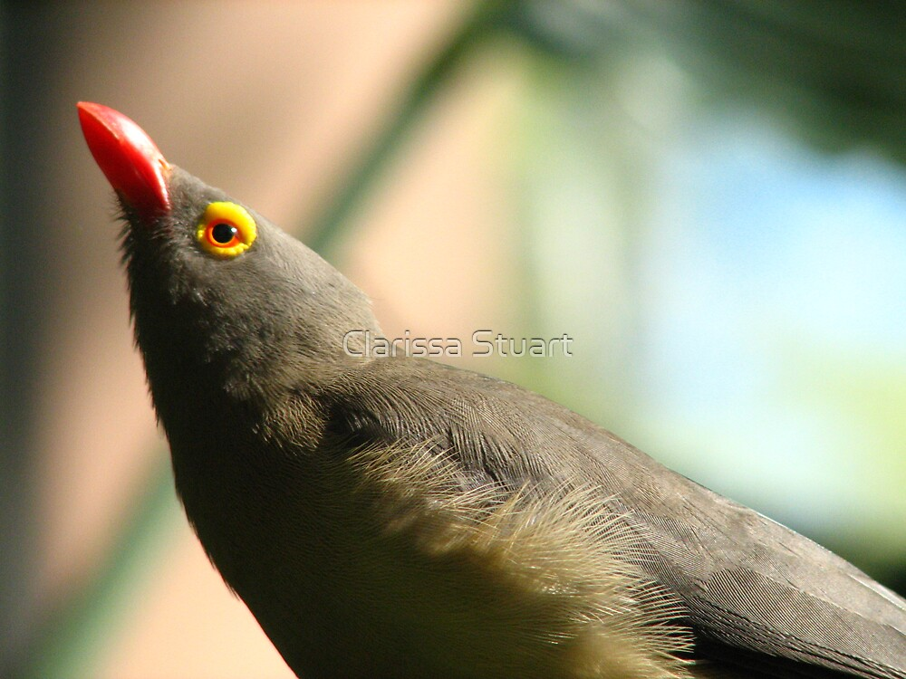 Red-Billed Oxpecker by Clarissa Stuart