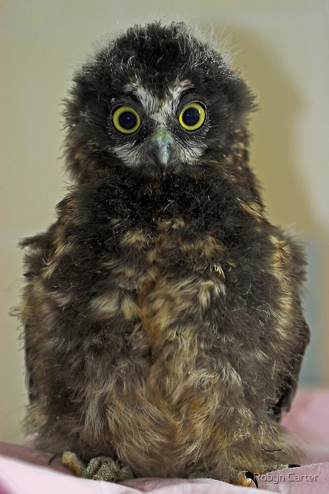 Baby Morepork by Robyn Carter