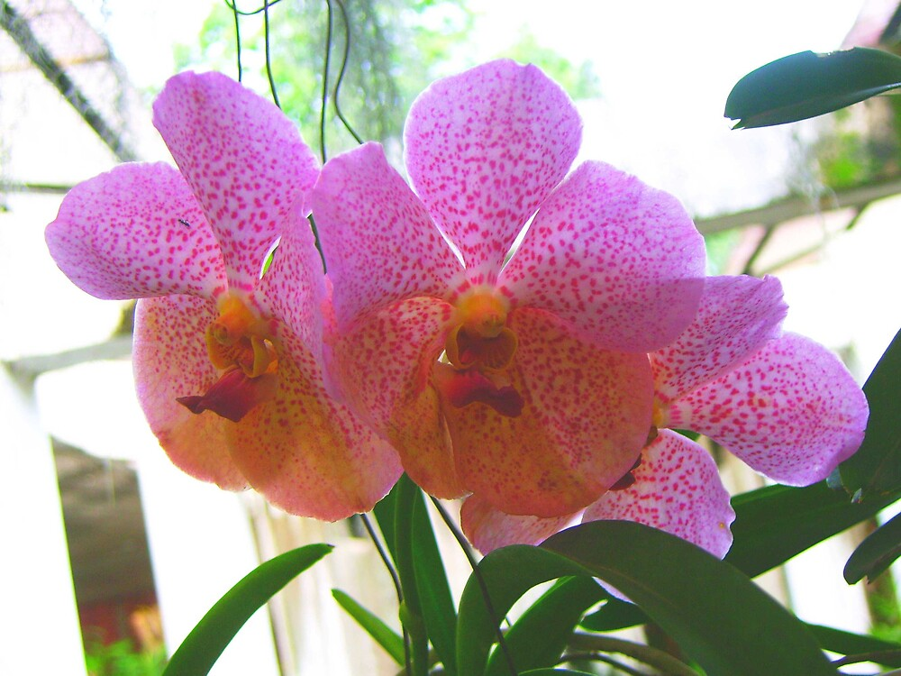 orchidcard4 by Devika Fernando