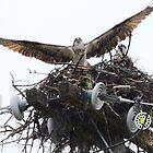 Osprey's Nest by Laura Puglia