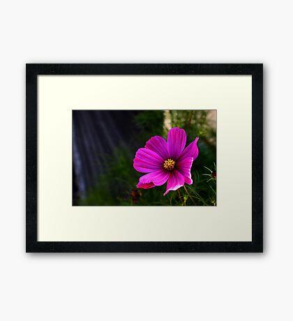 Heavenly Daisy Framed Print