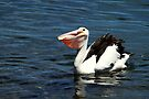 Pelican's Dinner Time by Evita