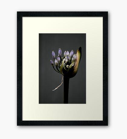 Agaphantus - Spring Rain Framed Print