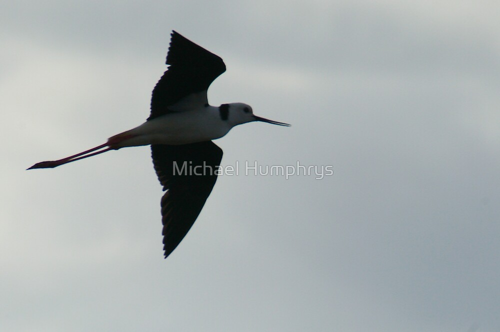 Black Winged Stilt in Full Flight by Michael Humphrys