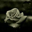 Monochrome Rose von Evita