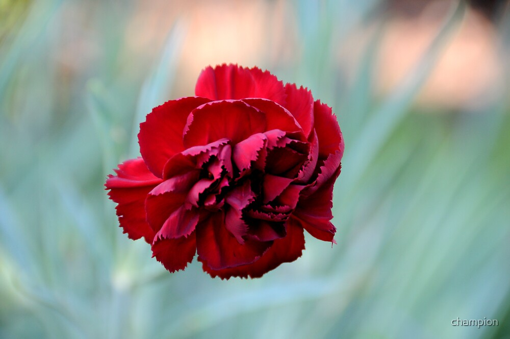 Red Carnation by champion