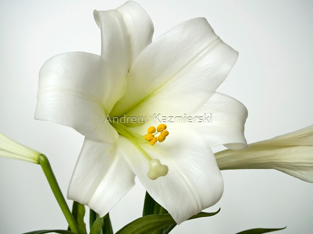 Easter Lilly Study by andykazie