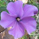 Native hibiscus alyogyne huegeli by Alex Gardiner