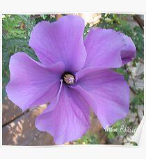 Native hibiscus alyogyne huegeli Poster