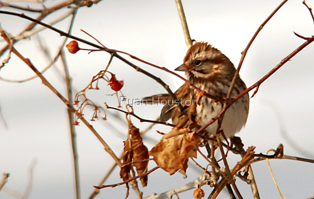 Song Sparrow by Ryan Houston
