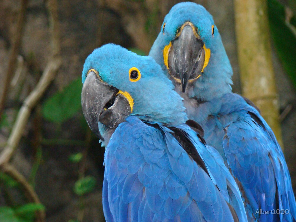 Parrots by Albert1000