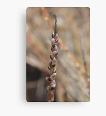 Pretty pink pussy willows Metal Print