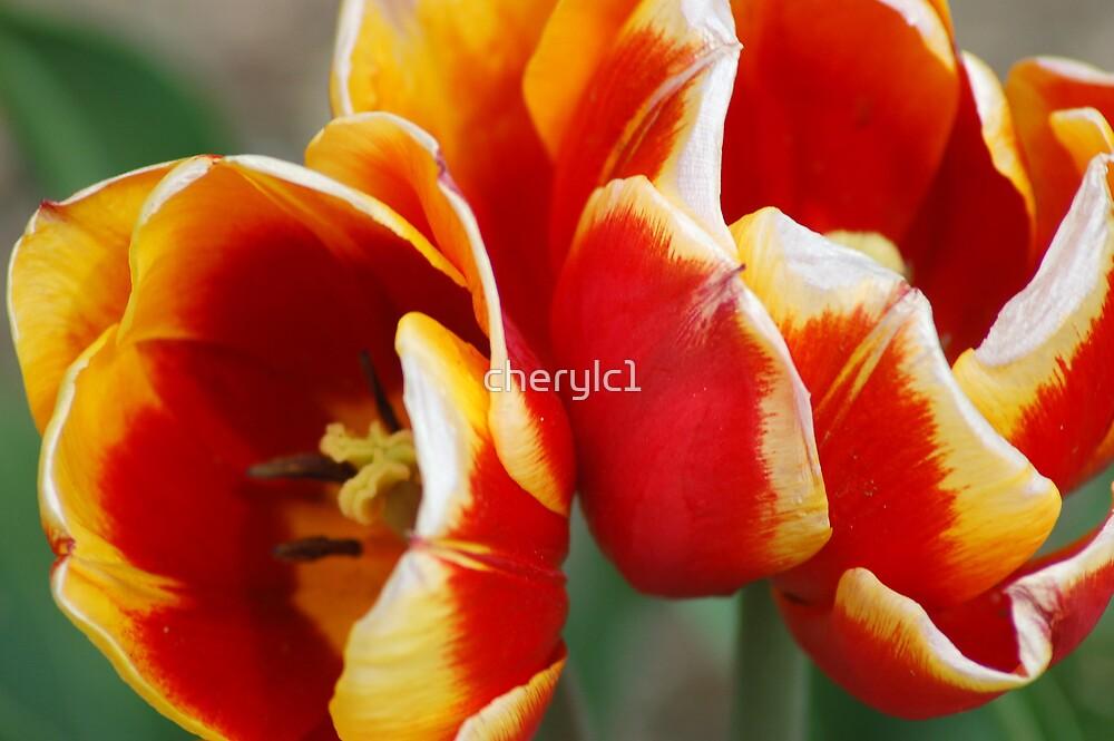 Tulips Of Three by cherylc1